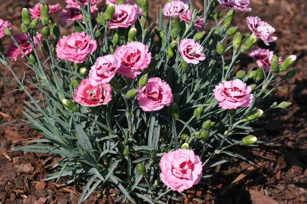 Related Keywords Amp Suggestions For Dianthus Care